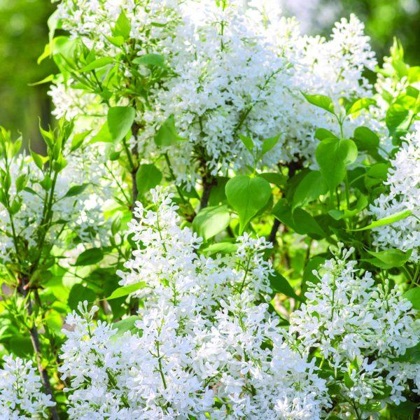 Lilac Syringa New Age White - National Garden Bureau