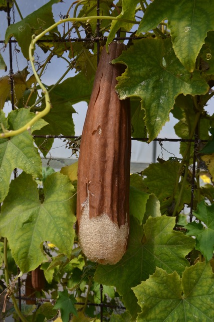 Drying your luffa when it turns brown by leaving on the trellis
