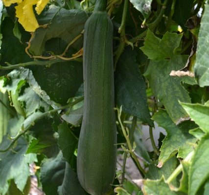 Pick the green luffa when they are 6 inches long for use in recipes