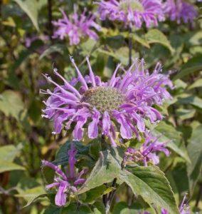 Wild Bergamot - Year of the Monarda