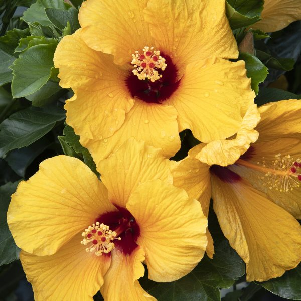 Hibiscus Jazzy Jewel is a great addition to two plant combinations - National Garden Bureau