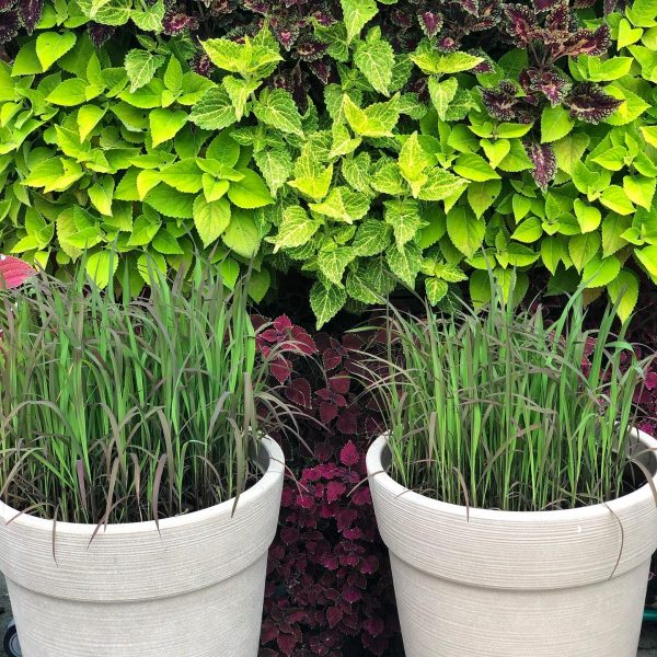 Growing Grains for Foodscape Containers