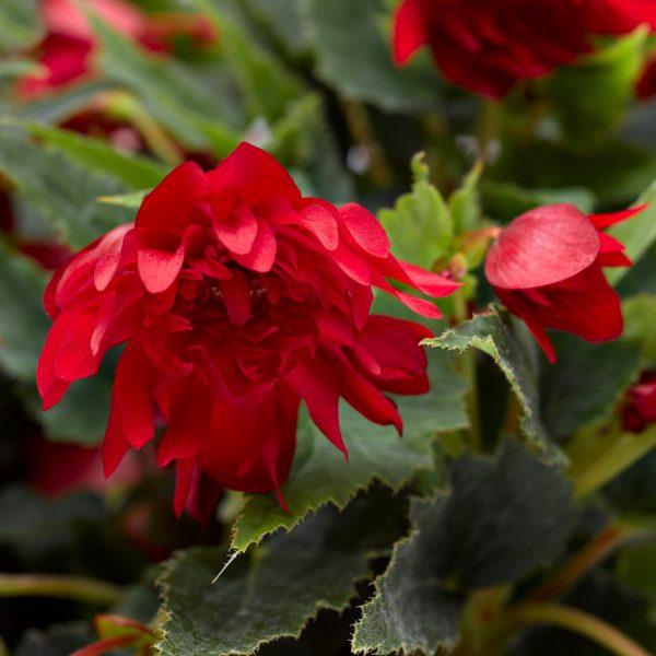 Begonia Grace™ Dark Red from Breeder Syngenta Flowers LLC