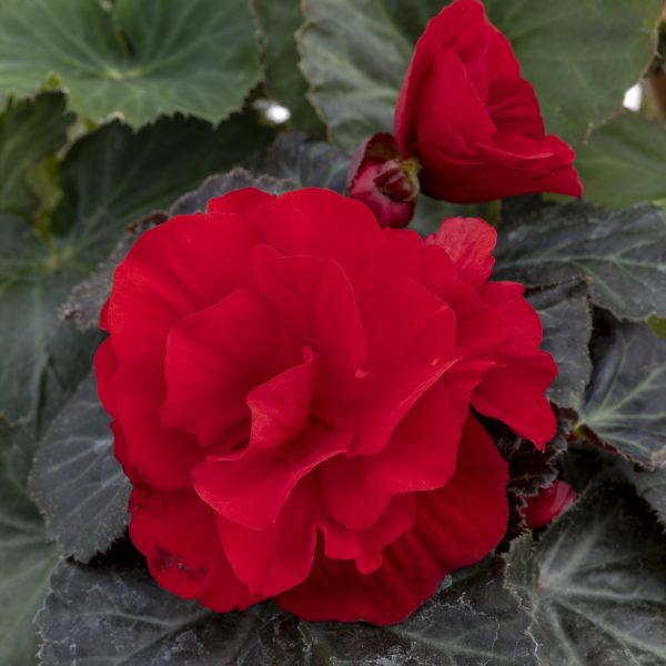 Begonia Nonstop Mocca Deep Red from our Breeder Benary