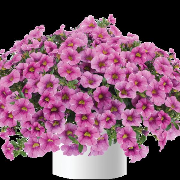 Colibri™ Pink Lace is an excellent combination planter - National Garden Bureau