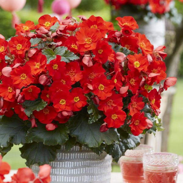 Begonias in a container make a beautiful shade container for any spot on your patio - National Garden Bureau