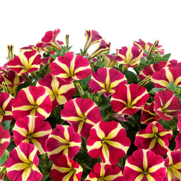 Amore Queen of Hearts Petunias are a easy, classically look for any container - National Garden Bureau