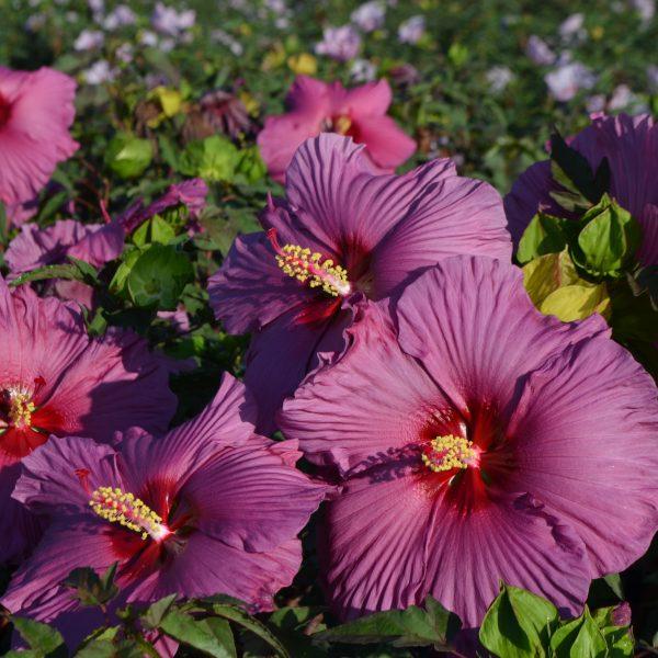 Summer Spice® Plum Flambe Hardy Hibiscus has sizzling purple blooms - National Garden Bureau