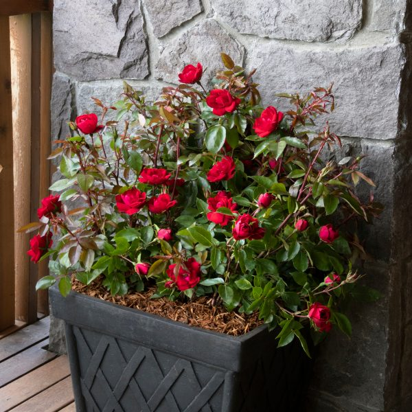 Use a single plant like a rose in your container design - National Garden Bureau