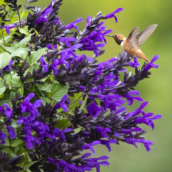 Salvai Hummingbird Falls will bring hummingbirds to your garden when you add this to your hanging baskets - National Garden Bureau