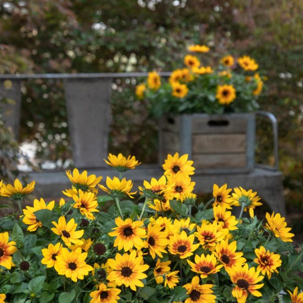 Sunbelievable Sunflowers make a beautiful single container planting for any garden and landscape - National Garden Bureau