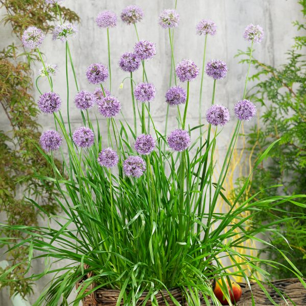 Allium Quattro makes a great edible container for any patio