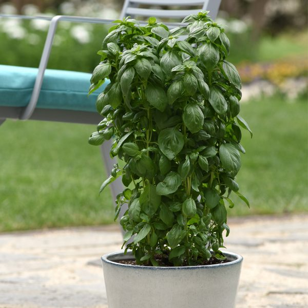 Basil Everleaf Emerald Towers - Great for Edible Containers