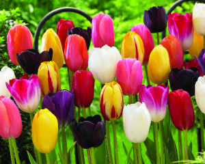 Jung Seed Tulip Single Late Mix