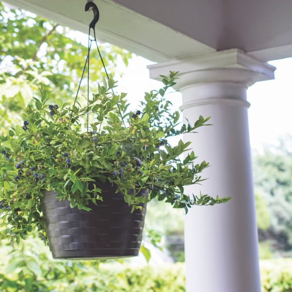 Midnight Cascade Blueberries - the first hanging basket blueberries perfect for edible containers