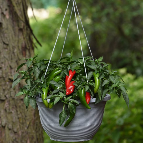 Pepper Pot-o-peno can be grown as a hanging basket or in an edible container