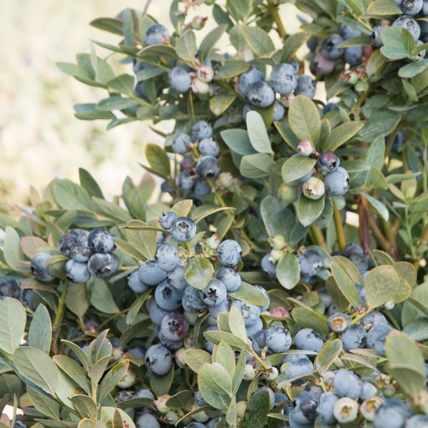 Bountiful Blue Blueberry is great for edible containers and works well in southern gardens