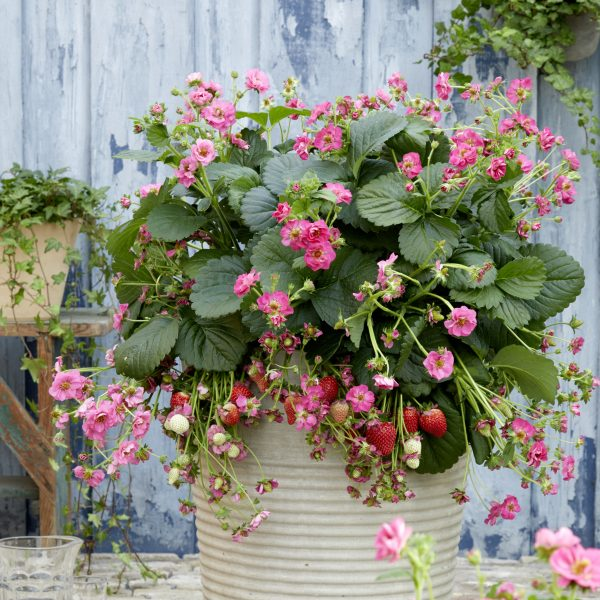 Strawberry Summer Breeze Cherry is ideal in both hanging baskets and containers for summer long strawberries