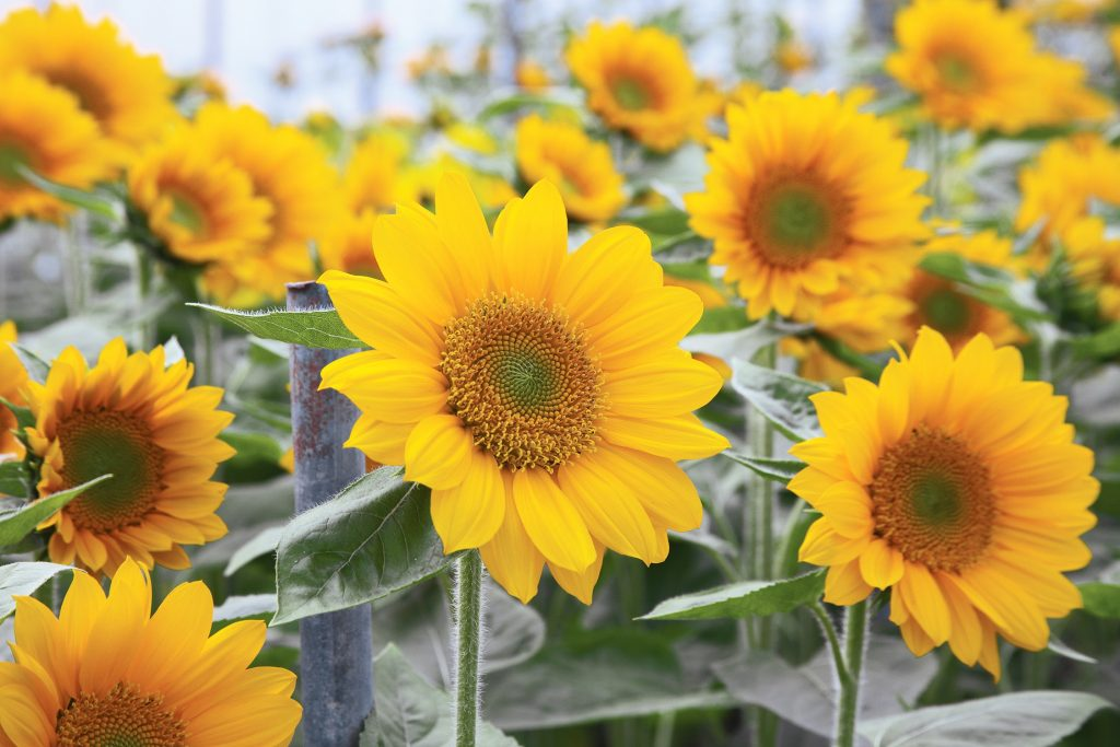 Sunflower DIY Projects to make for summer and fall - Year of the Sunflower