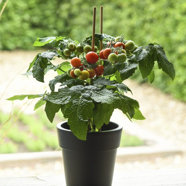 Tomato Siam is a small but delicious tomato plant that works indoors and outdoors