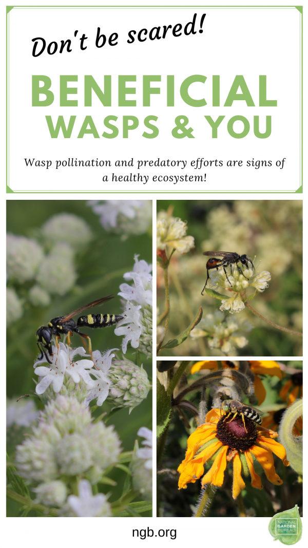 Beneficial Wasps and You -Wasp pollination and predatory efforts are signs of a healthy ecosystem in your garden - National Garden Bureau