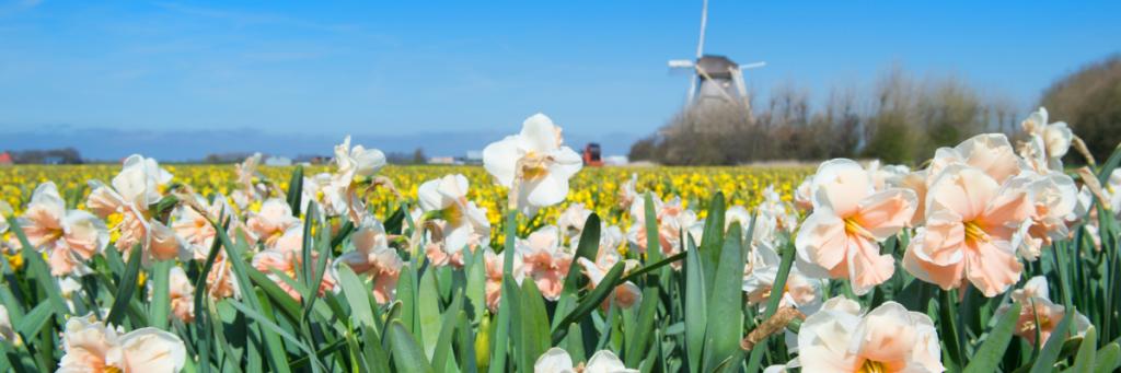 Field of Dutch Bulbs for your Spring Garden
