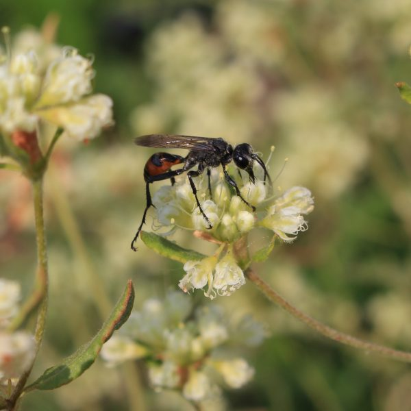 Sphecid, or thread-waisted wasps are very common Apoids Beneficial Wasps