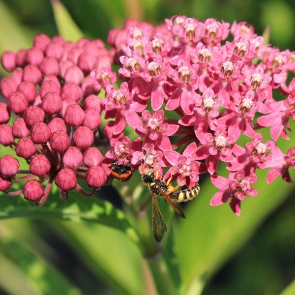 Cerceris or Weevil Wasp species