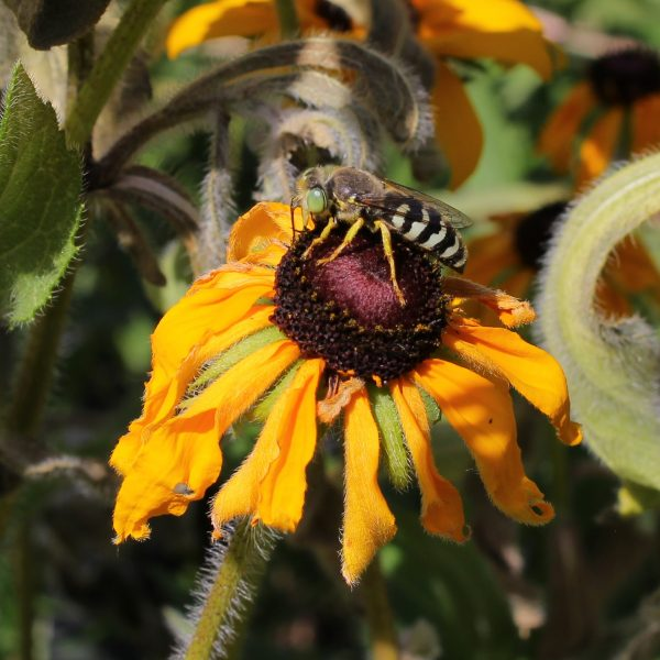 Bembix (above, on Rudbeckia) is one of the most striking beneficial wasps - National Garden Bureau