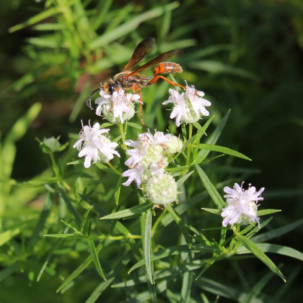 Isodontia elegans, the Elegant Grass-Carrying Wasp, excellent beneficial wasps