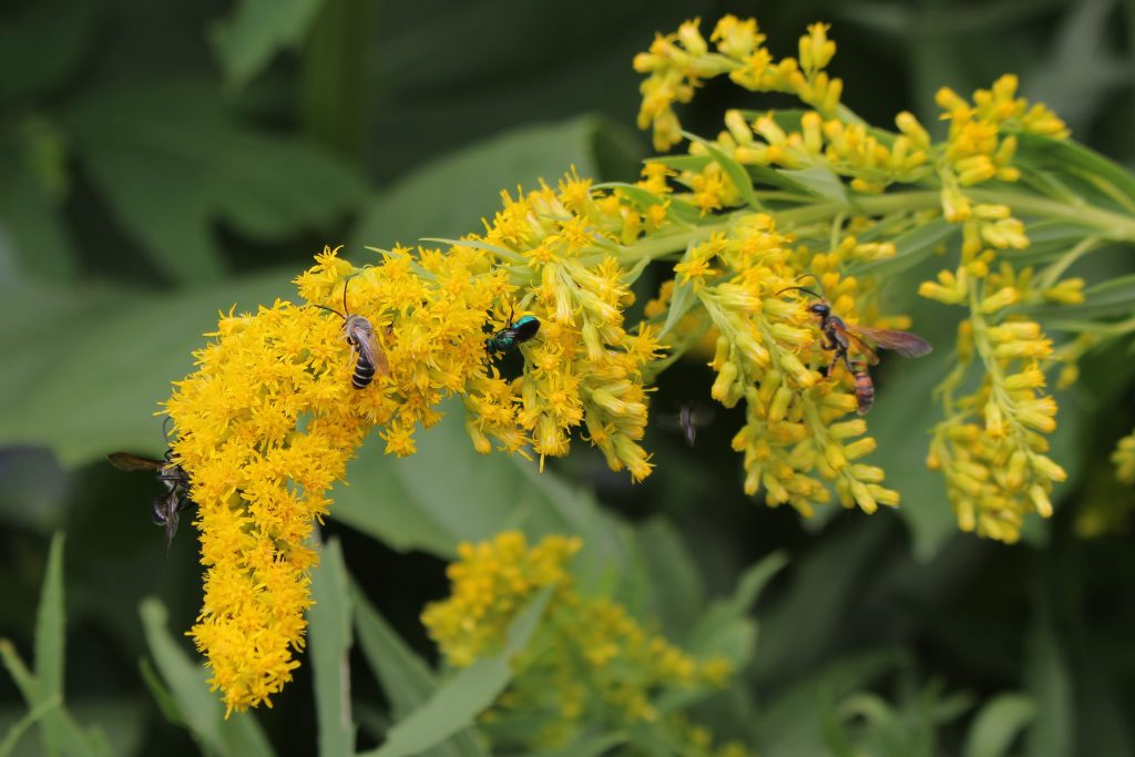 A group of beneficial wasps on goldenrod