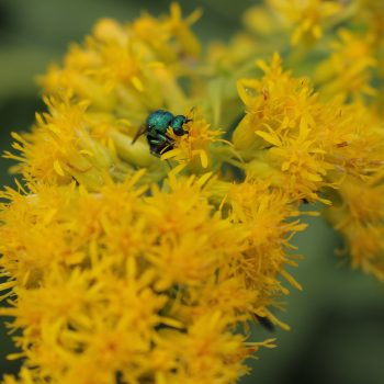 Chrysidid, Jewel Wasp or Cuckoo Wasps are also beneficial wasps found in the garden