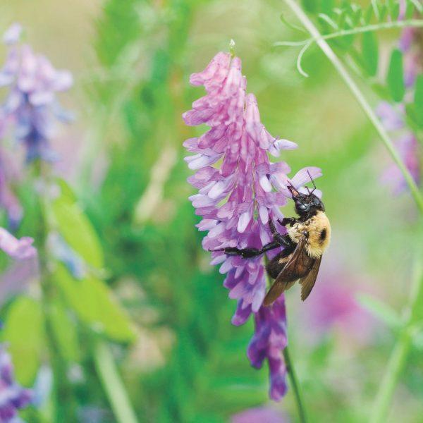 Hairy Vetch is a cover crop that is a nitrogen fixer | Soil Rejuvenation | National Garden Bureau