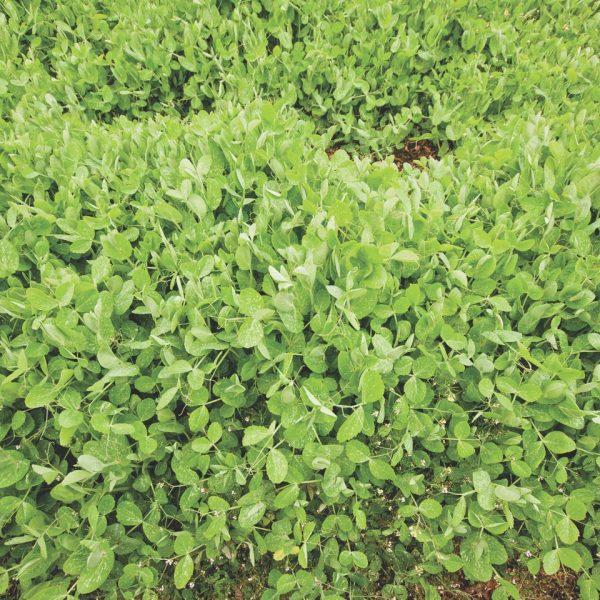 Winter Field Peas are a good nitrogen fixer cover crop that tolerates somewhat heavier soils. | National Garden Bureau