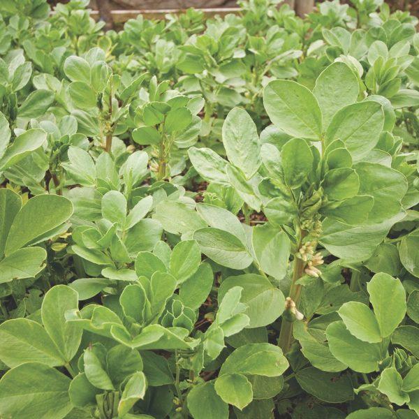 Fava Beans This small-seeded broad bean is a popular nitrogen fixer for soil rejuvenation | National Garden Bureau.