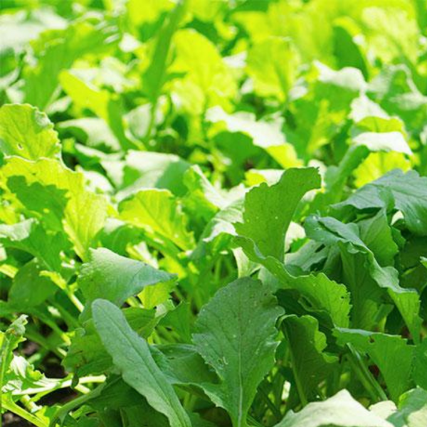 Daikon Radish are an ideal cover crop because their ability to protect the soil from weeds while adding nutrients back to the soil. | National Garden Bureau