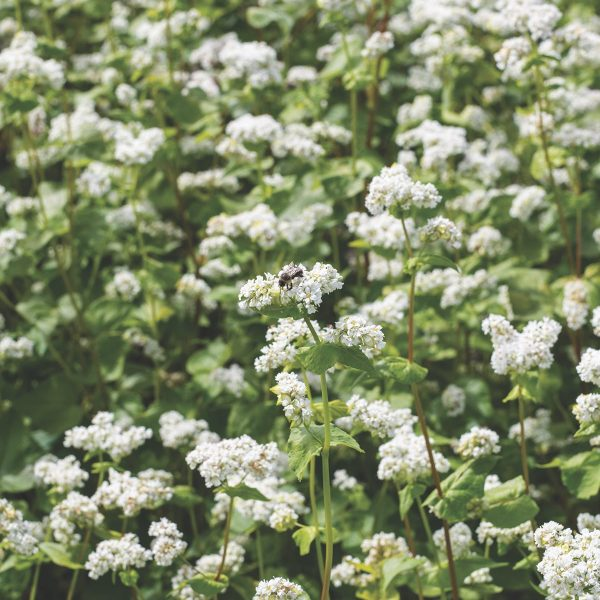 Buckwheat produces hardy annual, upright plants that grow fast with flowers that attract pollinators | Soil Rejuvenation | National Garden Bureau