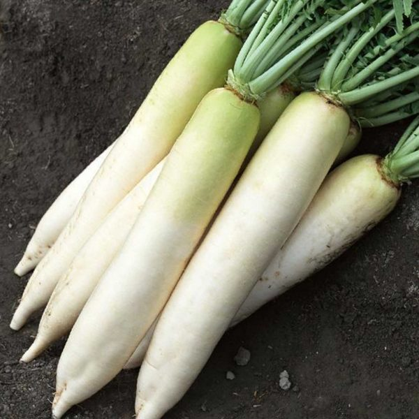 Daikon Radish are an ideal cover crop because their ability to protect the soil from weeds while adding nutrients back to the soil. | N
