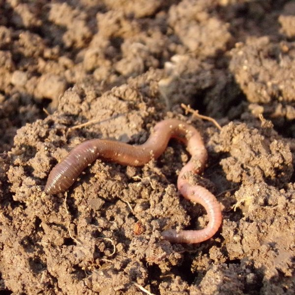 Earthworm Activity Increases and Helps with Soil Rejuvention | National Garden Bureau